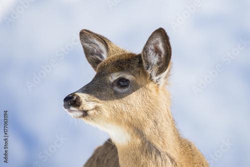 Fotobehang Ree whitetail deer in winter