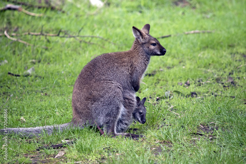red neck wallaby