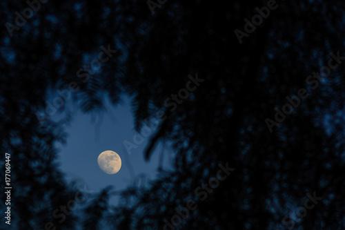 Fototapeta Księżyc wpada przez drzewa