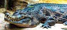 Closeup Of An Alligator Head A...