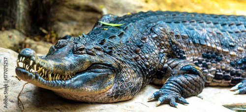 Photo Closeup of an Alligator Head and Body Against an Earth Toned Background