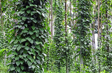 FototapetaBlack pepper, piper nigrum, plants growing in plantation in Goa, India. The vines take supported of large trees. Black pepper is the most traded spice. Vietnam is the largest producer