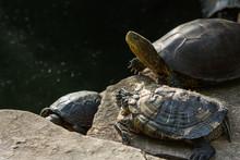 Red Eared Slider Turtle. Trachemys Scripta Elegans.