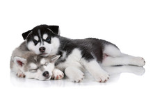 Two Siberian Husky Puppies Are...