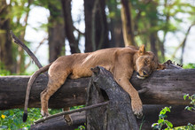 Tired Lioness Resting On A Tre...