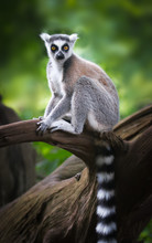 Ring-tailed Lemur Sitting On A...