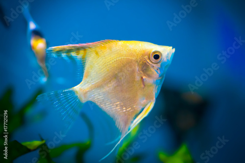 Photo white angelfish swimming upwards, sideview
