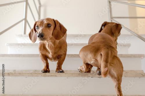 Fotografie, Obraz  Cachorro Dachshund subindo a escada