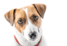 A Close-up Portrait Of A Beautiful Cute Small Dog Jack Russell Terrier Looking Into Camera On White Isolated Background. Studio Shot