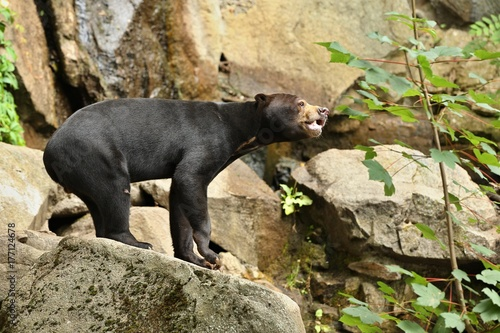 Canvas Prints Panther Malayan bear in the nature habitat. Beautiful smaller kind of bears in zoo. Rare animal in captivity. Helarctos malayanus.