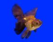 canvas print picture - Gold fish in aquarium tank