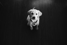 White Lab Puppy Sitting Lookin...