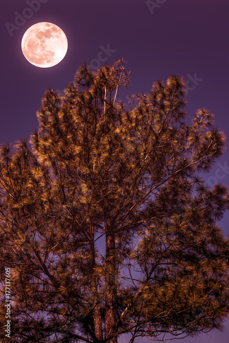 Landscape of sky and full moon with moonlight behind pine tree. Serenity nature.
