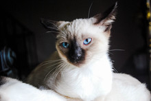 A Siamese Kitten