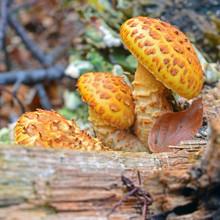 Pholiota Aurivella Mushroom