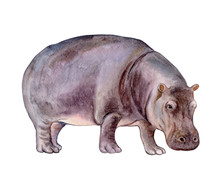 Hippopotamus Baby Isolated On ...