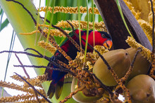 Black-capped Lory (Lorius Lory...