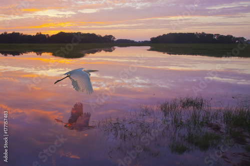 Tuinposter Aubergine Dawn's Light - A great egret skims the water surface in early morning sunrise light with reflection.