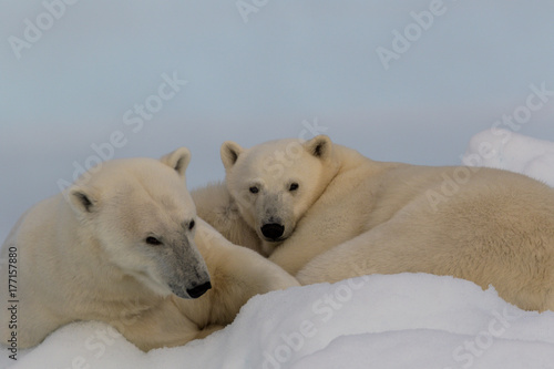 Polar Puppies A Mother Polar Bear And Its Yearling Cub Enjoy The