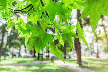 Green Leaves And Seeds Of Sycamore Tree