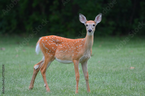 Baby deer on alert плакат