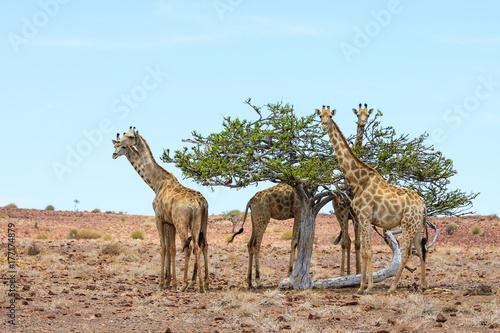 Giraffen (Giraffa camelopardalis) Poster