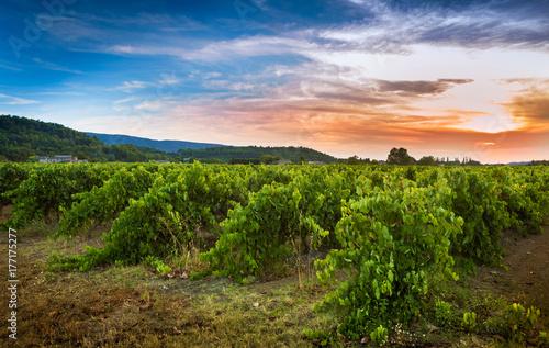 Fototapeta Vineyard and sunset landscape - agriculture