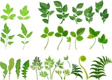 Set Of Green Compound Leaves On White Background