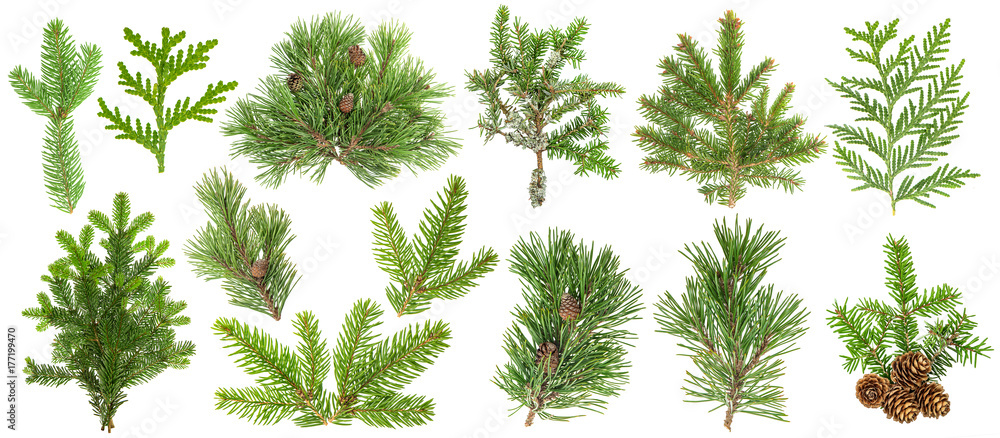 Fototapety, obrazy: Coniferous tree branches Spruce pine thuja fir cone set