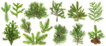 Coniferous Tree Branches Spruc...