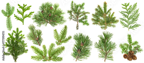 Obraz Coniferous tree branches Spruce pine thuja fir cone set - fototapety do salonu