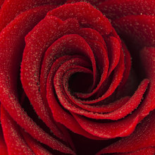 Close-up Of A Red Rose With Water Drops