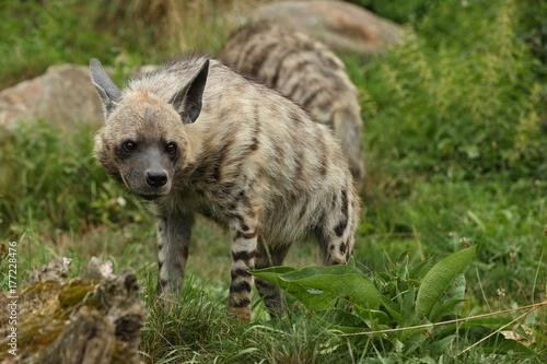 In de dag Hyena Brown hyena walking in the nature looking habitat in zoo. Wild animals in captivity. Beautiful canine and carnivore. Hyaena brunnea.