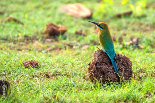 zolna-modrosterna-maly-ptak-siedzacy-na-ziemi