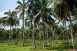 Coconut plantation in Asia