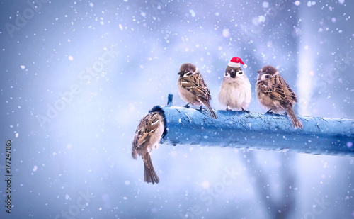 Photo  Cute funny merry Christmas sparrows in the New Year with a red cap with little red hats during a snowfall