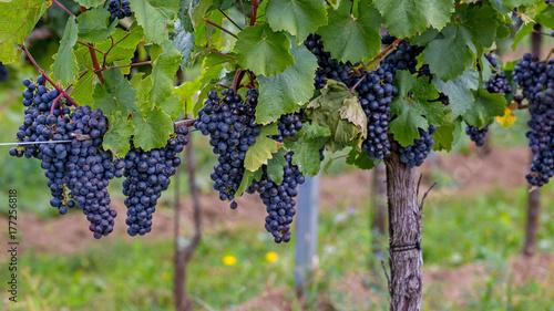 Fotografie, Obraz  Mature grapes in autumntime in Austria, Burgenland
