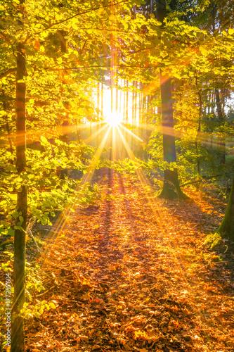 Foto Rollo Basic - Sonnendurchfluteter Wald im Herbst (von ThomBal)