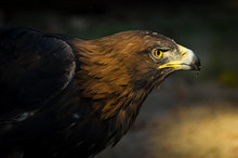 The Portrait Of Golden Eagle (...