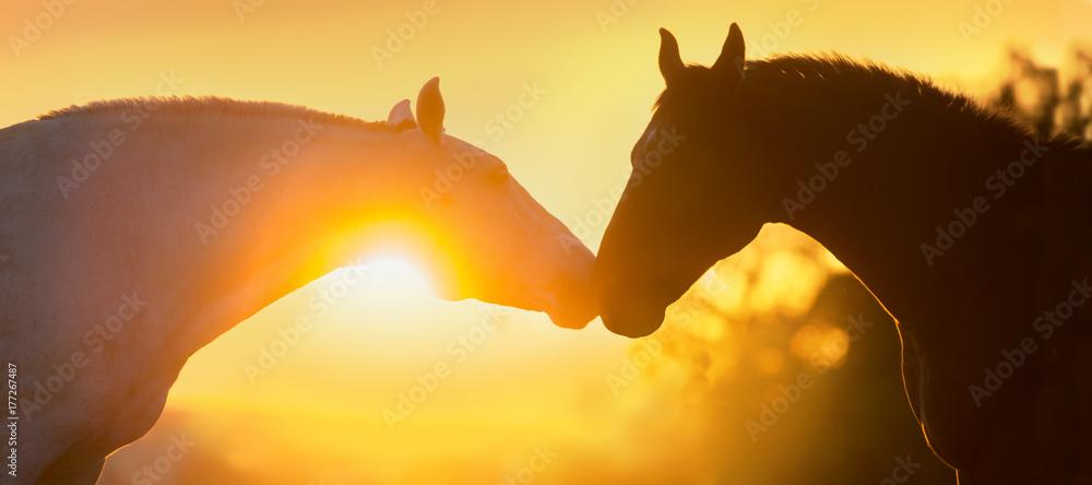 Fototapeta Two horse portrait silhouette at sunset light