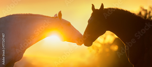 Fototapeta Two horse portrait silhouette at sunset light obraz