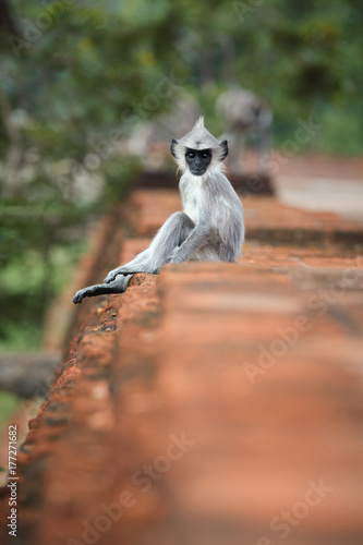 Photo  Vertical photo of Gray langur sitting on the wall