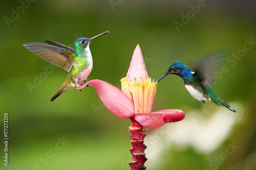 Two  bright blue and green hummingbirds, White-necked Jacobin,Florisuga mellivora and Andean emerald, Amazilia franciae, feeding from banana flower with raindrops, against abstract green background.