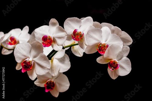 Piekne białe storczyki - 177273842