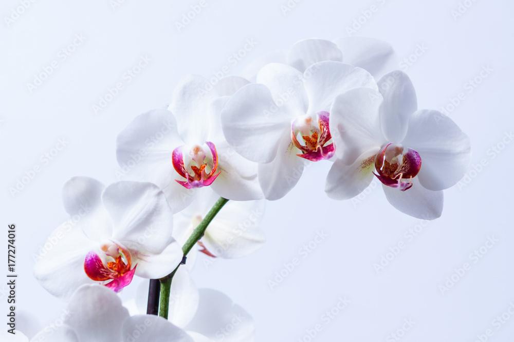 Obraz Piekne białe storczyki fototapeta, plakat