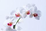 Piekne białe storczyki