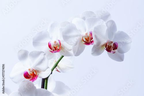 Fototapeta premium Piekne białe storczyki