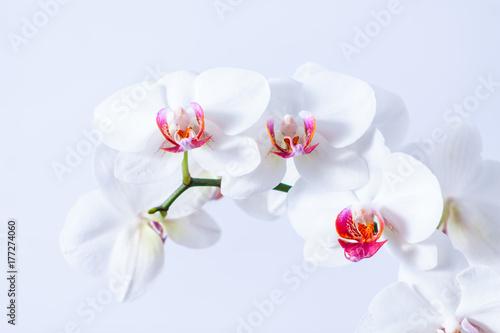Piekne białe storczyki - 177274060