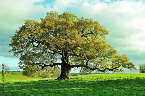Old Oak tree in an English meadow.