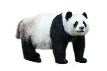 FototapetaThe Giant Panda, Ailuropoda melanoleuca, also known as panda bear, is a bear native to south central China. Panda standing, side view, isolated on white background.
